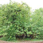درخت سیب نیوتن