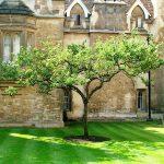 درخت سیب نیوتن در دانشگاه کمبریج