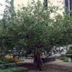 درخت سیب نیوتن در دانشگاه یورک